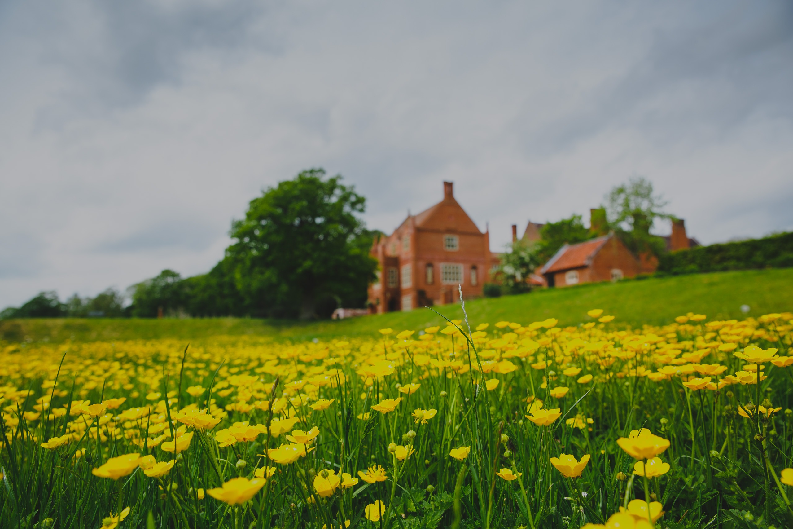 A field of buttercups at Oxnead hall